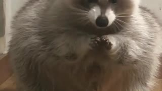 Raccoon never stop eating cookies