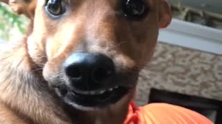 Brown dog smiling with teeth