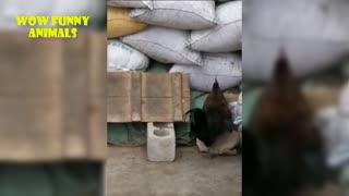 Dog Vs Chicken - Funny Video