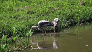 Birds fishing in shallow water - With great music