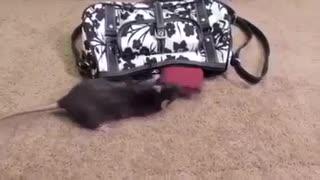 Money stealing rat