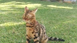 Wonderful Bengal cat