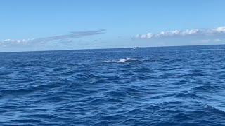 Mother and Calf Whales Breach Together