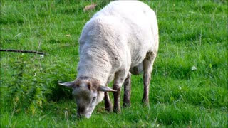 Flies Going Over Mother Sheep While eating Grass