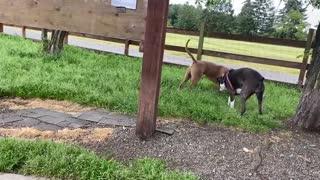 German Shepherd Fight Pitbull