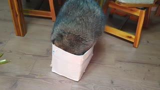 Chunky raccoon tries to squeeze inside tiny cardboard box
