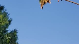 Arborist Rides Palm Tree Like a Cowboy