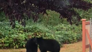 Backyard bears