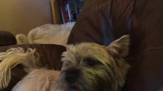 Howling puppy loves to sing along with owner