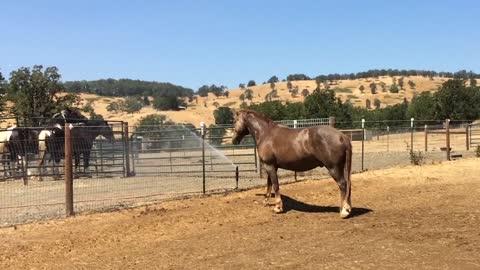 Two horses horsin' around in a sprinkler