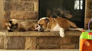 English Bulldog & Himalayan cat are the best of friends