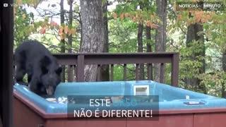 Urso invade jacuzzi para relaxar