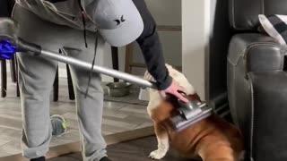 Shedding bulldog gets the full vacuum treatment
