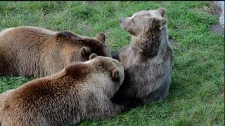 Brown Bears Brotherhood