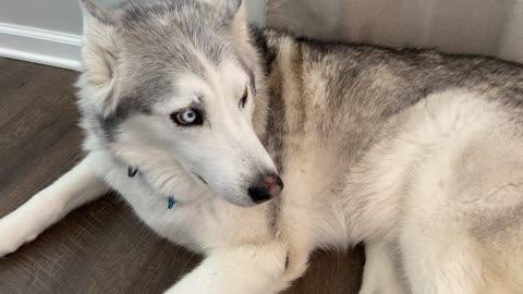 Stubborn husky is totally jealous over new baby