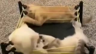 Two cats fighting in Armageddon with a smart referee
