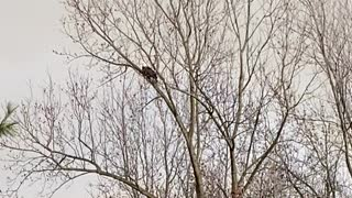 Bald eagle attack by hawks