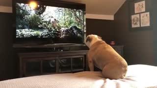 Bulldog Reacts To His Favorite Movie