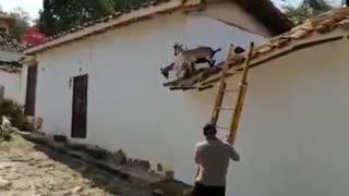Así fue el rescate de cuatro cabras del techo de una casa