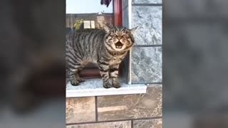 cats talking' these cats can speak english more than human