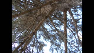 Sprucing Up Our Hearts ~ Blue Spruce Tree