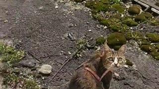 Walking a Cat During Quarantine