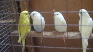 My little parrots