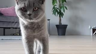 Cute cat walks to the camera