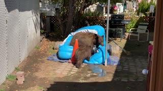 Bear Brings Cubs for a Backyard Swim