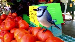 Hungry Blue Jay Eats Hungry Blue Jay Eats Tomatoes