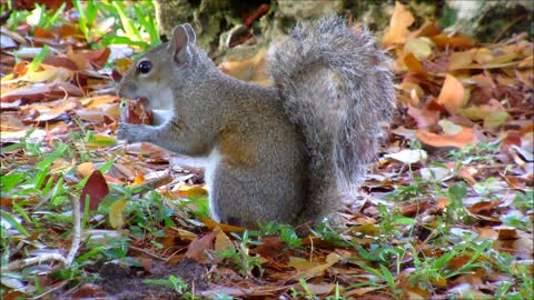 Adorable Female Grey Squirrel Eating Nuts