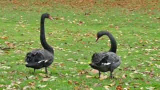 Swans Stretching