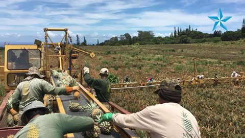 Maui Gold in Haliimaile defied shutdown twice in last decade