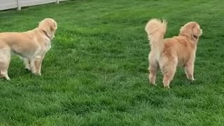 Two goofy dogs having a great time together