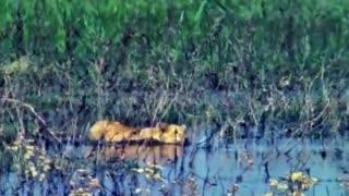 Crocodile Destroys Lion King in 10 second Elephant vs Crocodile Elephant Rescue Buffalo From Lion