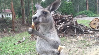 Large baby kangaroo barely fits in mom's pouch