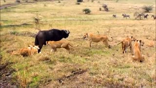 Leões Contra Búfalos