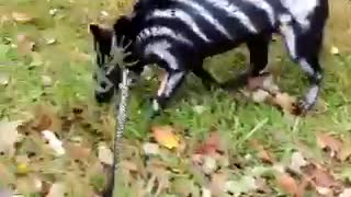 Puppy shows off his spooky Halloween costume