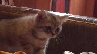 Kitten first saw a dog