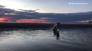 White dog slow motion runs across water sunset