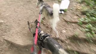 Husky Puppy Plays In Water For The First Time!
