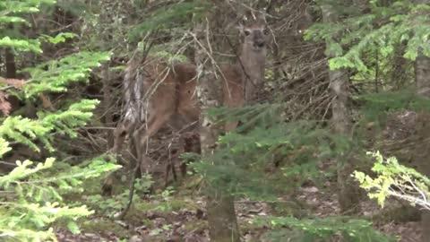 Newborn fawn deer and mother doe
