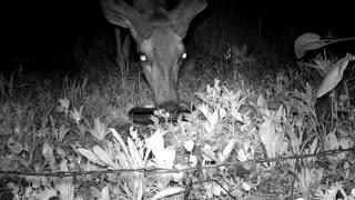 Deer drinking bird water - Night Vision