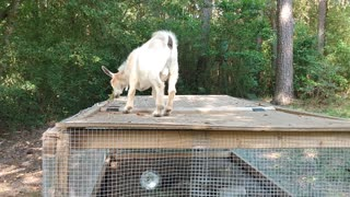 Baby goats playing East Texas