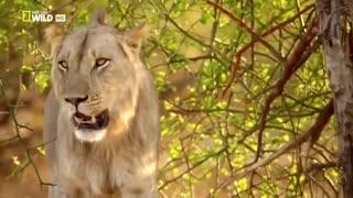 National Geographic Documentary 2020 HD - NSEFU Kings of Lions