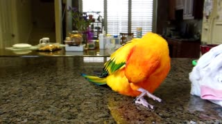 Sun Conure Singing Along to A Whole New World