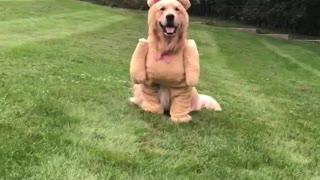 Dog Shows Off Cute Teddy Bear Costume