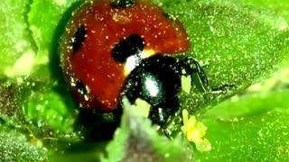 ladybird Beautiful