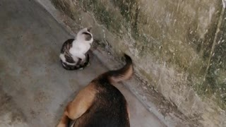 Kitten Doesn't Understand How Tails Work Yet