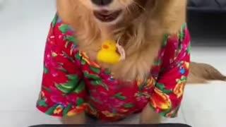 Funny video dog birthday song